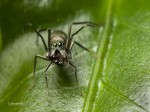 Black Spider Eating