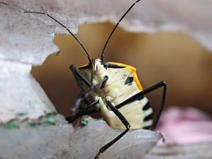 Yellow ManFace Beetle